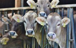 4-cows-behind-black-metal-rails-162801